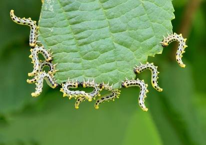 Caterpillars Eating Leaves