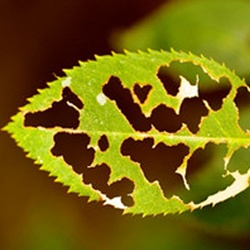 Protect Leaves with Natural Pesticides