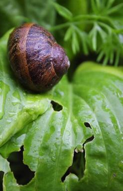 Snails Eating Leaves