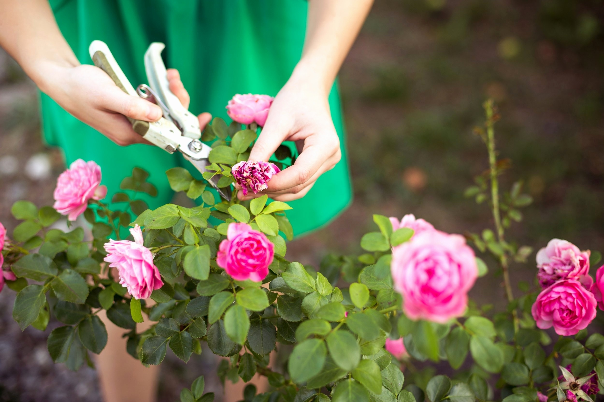 What is Deadheading Flowers
