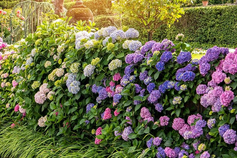 How to grow and care for hydrangeas in your garden apex hose